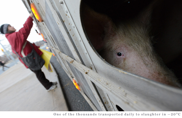 Pig in Transport Truck