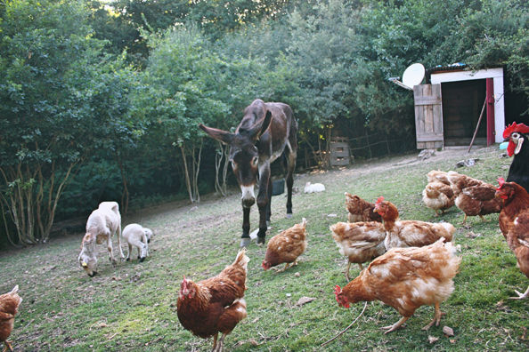 Fernando the donkey surrounded by adoring hens at Mino Valley. (Abigail Geer)
