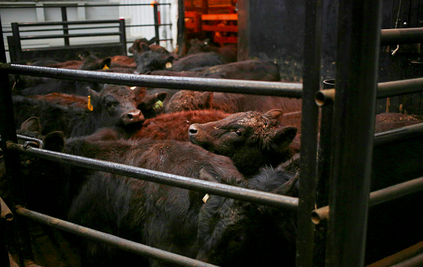 Animal Agriculture Stockyard Factory Farm Climate Change