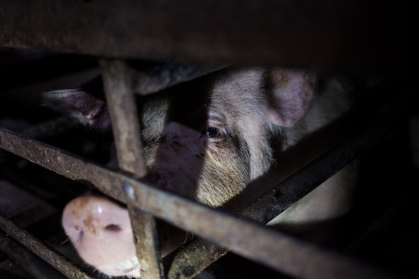 The life of a pig on a farm. Photo courtesy Animal Equality.