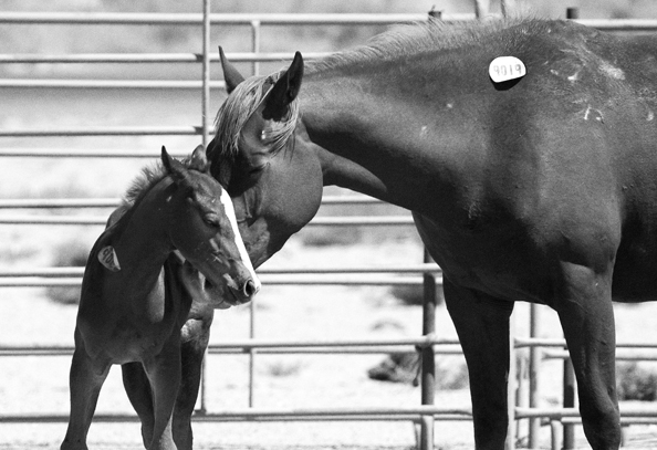 Mother and baby wil horse kill auction