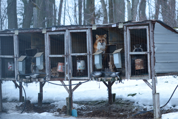fox farm cruelty go vegan