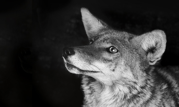 coyote animal wild rescued